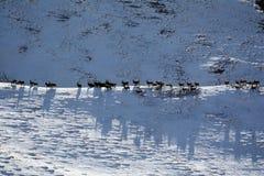 Μετανάστευση του αγριοκάτσικου Κοπάδι των αιγών που περπατούν στην κορυφογραμμή της Τιέν Σαν Στοκ φωτογραφία με δικαίωμα ελεύθερης χρήσης