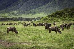 Μετανάστευση Wildebeest Στοκ Φωτογραφίες