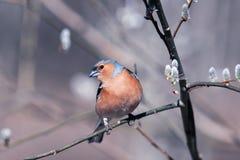 Μεταναστευτικό Finch Songbird κάθεται σε έναν κλάδο ιτιών με το ηλιόλουστο πάρκο οφθαλμών την άνοιξη στοκ εικόνες με δικαίωμα ελεύθερης χρήσης