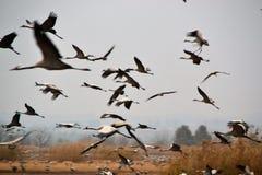 Μεταναστεύοντας γερανοί στην κοιλάδα Hula, επιφύλαξη φύσης λιμνών Hula, Galilee, Ισραήλ στοκ εικόνες