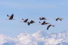 Μεταναστεύοντας μεγαλύτεροι γερανοί Sandhill Vista Monte, Κολοράντο Στοκ εικόνα με δικαίωμα ελεύθερης χρήσης