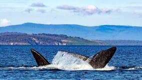 Μεταναστεύοντας νότιες σωστές φάλαινες Στοκ Εικόνες