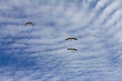 Μεταναστεύοντας πελαργοί που πετούν ενάντια στον μπλε νεφελώδη ουρανό Στοκ φωτογραφία με δικαίωμα ελεύθερης χρήσης