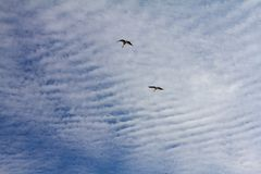 Μεταναστεύοντας πελαργοί που πετούν ενάντια στον μπλε νεφελώδη ουρανό Στοκ Εικόνες