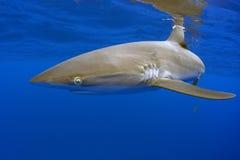 Μεταξωτός καρχαρίας, Galapagos στοκ εικόνα με δικαίωμα ελεύθερης χρήσης