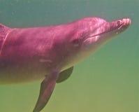 Μεταξωτός το απομονωμένο δελφίνι 2 Στοκ Φωτογραφία