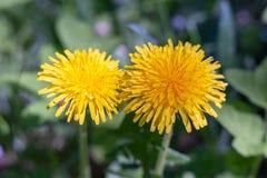 Μετασχηματισμός άνοιξη, - τα λουλούδια πικραλίδων χρησιμοποιούνται ευρέως στη λαϊκή ιατρική στοκ εικόνες