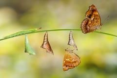 Μετασχηματισμός από την κάμπια και τη χρυσαλίδα θηλυκού σιαμέζου Στοκ Εικόνες