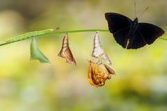 Μετασχηματισμός από την κάμπια και τη χρυσαλίδα του αρσενικού σιαμέζου β Στοκ φωτογραφία με δικαίωμα ελεύθερης χρήσης