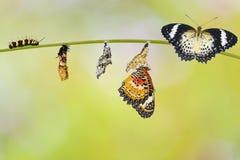 Μετασχηματισμός από την κάμπια της lacewing πεταλούδας λεοπαρδάλεων στοκ εικόνες με δικαίωμα ελεύθερης χρήσης