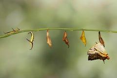 Μετασχηματισμός της κοινής πεταλούδας FR thyodamas Cyrestis χαρτών Στοκ φωτογραφία με δικαίωμα ελεύθερης χρήσης