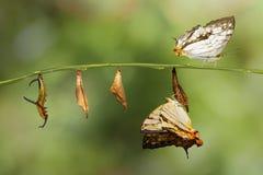 Μετασχηματισμός της κοινής πεταλούδας thyodamas Cyrestis χαρτών για Στοκ Φωτογραφίες