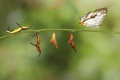 Μετασχηματισμός της κοινής πεταλούδας thyodamas Cyrestis χαρτών για Στοκ Εικόνα