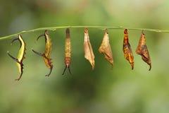 Μετασχηματισμός της κοινής πεταλούδας thyodamas Cyrestis χαρτών για Στοκ εικόνα με δικαίωμα ελεύθερης χρήσης