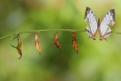 Μετασχηματισμός της κοινής πεταλούδας thyodamas Cyrestis χαρτών για Στοκ φωτογραφίες με δικαίωμα ελεύθερης χρήσης