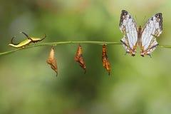 Μετασχηματισμός της κοινής πεταλούδας thyodamas Cyrestis χαρτών για Στοκ φωτογραφία με δικαίωμα ελεύθερης χρήσης