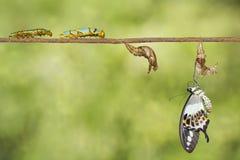 Μετασχηματισμός του ενωμένου swallowtail demolion Papilio πεταλούδων Στοκ Φωτογραφία