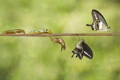 Μετασχηματισμός του ενωμένου swallowtail demolion Papilio πεταλούδων Στοκ φωτογραφίες με δικαίωμα ελεύθερης χρήσης