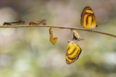 Μετασχηματισμός του κοινού lascar hordonia Pantoporia πεταλούδων Στοκ Εικόνα