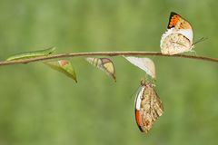 Μετασχηματισμός του μεγάλου πορτοκαλιού carda Anthocharis πεταλούδων ακρών Στοκ φωτογραφία με δικαίωμα ελεύθερης χρήσης