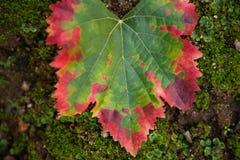 Μετασχηματισμός χρώματος ενός φύλλου, πράσινος στο κόκκινο στοκ φωτογραφίες με δικαίωμα ελεύθερης χρήσης