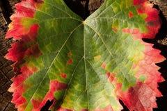Μετασχηματισμός χρώματος ενός φύλλου, πράσινος στο κόκκινο στοκ εικόνα με δικαίωμα ελεύθερης χρήσης