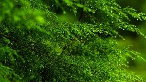 Μετατόπιση εστίασης, πράσινο φύλλο δέντρων, πτώση πτώσεων βροχής ξημερωμάτων απόθεμα βίντεο