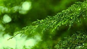 Μετατόπιση εστίασης του φύλλου δέντρων, πτώση πτώσεων βροχής ξημερωμάτων απόθεμα βίντεο