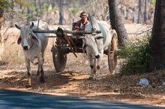 Μεταφορά αγελάδων σε Bagan το Μιανμάρ Στοκ Εικόνες