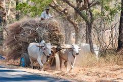 Μεταφορά αγελάδων σε Bagan το Μιανμάρ Στοκ εικόνες με δικαίωμα ελεύθερης χρήσης
