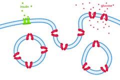 Μεταφορά γλυκόζης μέσω της μεμβράνης κυττάρων μέσω Στοκ εικόνα με δικαίωμα ελεύθερης χρήσης
