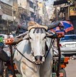 Μεταφορά κάρρων βοδιών στα ξημερώματα στο Δελχί, Ινδία Στοκ Φωτογραφίες