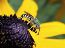 Μεταλλική πράσινη πλάγια όψη μελισσών Στοκ Φωτογραφία