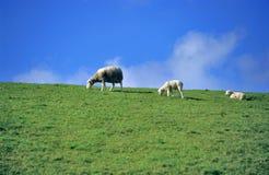 μετρώντας πρόβατα Στοκ Φωτογραφία