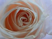 Μετωπική κινηματογράφηση σε πρώτο πλάνο των ρόδινων ροδαλών λουλουδιών σε ένα ιώδες υπόβαθρο στοκ εικόνες με δικαίωμα ελεύθερης χρήσης