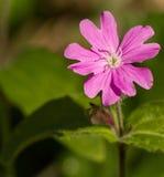 Μετωπική κινηματογράφηση σε πρώτο πλάνο ενός ρόδινου λουλουδιού Silene SSP Στοκ φωτογραφία με δικαίωμα ελεύθερης χρήσης