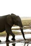 Μετωπική μελέτη ελεφάντων στοκ φωτογραφίες με δικαίωμα ελεύθερης χρήσης