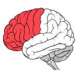Μετωπικός λοβός της ανθρώπινης πλάγιας όψης ανατομίας εγκεφάλου επίπεδης ελεύθερη απεικόνιση δικαιώματος