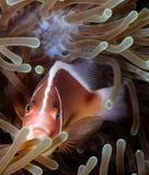 Μεφίτιδα Clownfish Στοκ φωτογραφίες με δικαίωμα ελεύθερης χρήσης