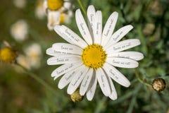 Με αγαπά όχι έννοια λουλουδιών μαργαριτών Στοκ εικόνα με δικαίωμα ελεύθερης χρήσης