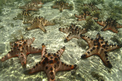 Με εξογκώματα αστέρι θάλασσας, νησί Mabul, Sabah Στοκ Φωτογραφίες