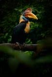 Με εξογκώματα Hornbill, Rhyticeros cassidix, από Sulawesi, Ινδονησία Σπάνιο εξωτικό πορτρέτο ματιών λεπτομέρειας πουλιών Μεγάλο κ Στοκ φωτογραφίες με δικαίωμα ελεύθερης χρήσης
