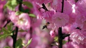 Μελισσοκομία στον κήπο κλείστε επάνω κίνηση αργή απόθεμα βίντεο
