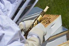 Μελισσοκόμος που συλλέγει το μέλι από τις μέλισσες μελιού Στοκ Φωτογραφίες