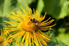 Με κοντά μαλλιά Bumblebee Στοκ Εικόνες