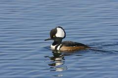 με κουκούλα αρσενική κολύμβηση μέργων Στοκ εικόνα με δικαίωμα ελεύθερης χρήσης