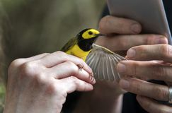 Με κουκούλα ζώνη πουλιών συλβιών στοκ εικόνα με δικαίωμα ελεύθερης χρήσης