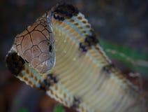 Με κουκούλα κινηματογράφηση σε πρώτο πλάνο Cobra βασιλιάδων Στοκ Εικόνες