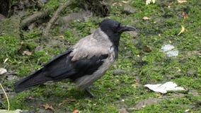 Με κουκούλα κόρακας/Corvus cornix που στέκεται στο mossy υγρό έδαφος στοκ εικόνες