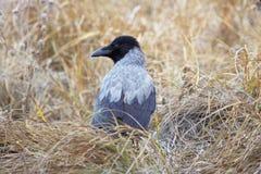 Με κουκούλα κόρακας Corvus cornix στη χλόη Στοκ Φωτογραφίες
